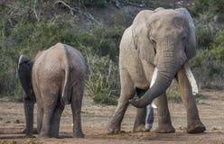 Αφρικανικός ελέφαντας με τους πολύ μακριούς χαυλιόδοντες που εξετάζουν το θηλυκό Στοκ Φωτογραφίες