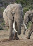 Αφρικανικός ελέφαντας με τους πολύ μακριούς χαυλιόδοντες Στοκ Φωτογραφία