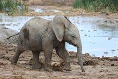 Αφρικανικός ελέφαντας μωρών στην τρύπα νερού Στοκ Εικόνες