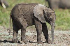 Αφρικανικός ελέφαντας μωρών Στοκ Φωτογραφίες