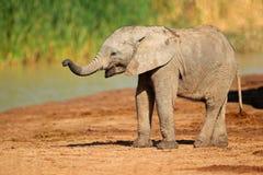 αφρικανικός ελέφαντας μωρών Στοκ εικόνες με δικαίωμα ελεύθερης χρήσης