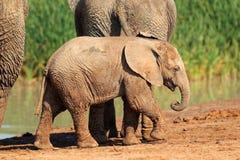 αφρικανικός ελέφαντας μωρών Στοκ φωτογραφίες με δικαίωμα ελεύθερης χρήσης