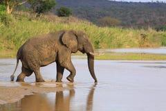 Αφρικανικός ελέφαντας που διασχίζει τον ποταμό Στοκ Εικόνες
