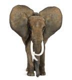 Αφρικανικός ελέφαντας που στέκεται, αυτιά επάνω Στοκ Εικόνες