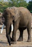 Αφρικανικός ελέφαντας σε Tierpark Βερολίνο Στοκ φωτογραφία με δικαίωμα ελεύθερης χρήσης