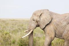 Αφρικανικός ελέφαντας στην Κένυα Στοκ εικόνα με δικαίωμα ελεύθερης χρήσης