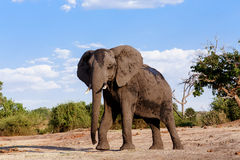 Αφρικανικός ελέφαντας στο εθνικό πάρκο Chobe Στοκ φωτογραφίες με δικαίωμα ελεύθερης χρήσης
