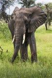 Αφρικανικός ελέφαντας στο εθνικό πάρκο Tarangire, Τανζανία Στοκ Εικόνες