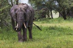 Αφρικανικός ελέφαντας στο εθνικό πάρκο Tarangire, Τανζανία Στοκ Φωτογραφίες
