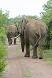 Αφρικανικός ελέφαντας στο δρόμο Στοκ Εικόνα