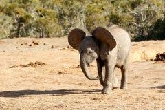 Αφρικανικός ελέφαντας του Μπους με τα τεράστια αυτιά Στοκ φωτογραφία με δικαίωμα ελεύθερης χρήσης