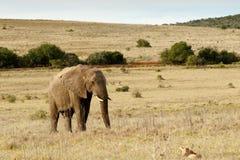 Αφρικανικός ελέφαντας του Μπους που περπατά στο κόκκινο κτήνος καρδιών μωρών Στοκ φωτογραφία με δικαίωμα ελεύθερης χρήσης