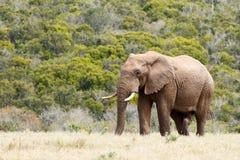 Αφρικανικός ελέφαντας του Μπους που στέκεται δυνατός και υπερήφανος στον τομέα στοκ φωτογραφία με δικαίωμα ελεύθερης χρήσης