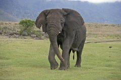 Αφρικανικός ελέφαντας, africana Loxodonta Στοκ Φωτογραφίες