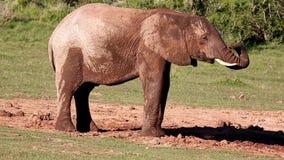 αφρικανικός ελέφαντας waterhole απόθεμα βίντεο