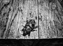 Αφρικανικός κάνθαρος ρινοκέρων Στοκ Εικόνα