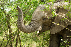 Αφρικανικός κορμός ελεφάντων στα δέντρα Στοκ Φωτογραφίες