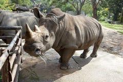 Αφρικανικός μαύρος ρινόκερος Στοκ φωτογραφία με δικαίωμα ελεύθερης χρήσης