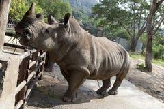 Αφρικανικός μαύρος ρινόκερος Στοκ Εικόνες