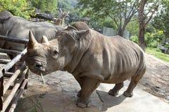 Αφρικανικός μαύρος ρινόκερος Στοκ φωτογραφίες με δικαίωμα ελεύθερης χρήσης
