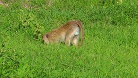 Αφρικανικός πίθηκος Vervet φιλμ μικρού μήκους
