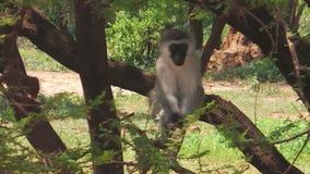Αφρικανικός πίθηκος Vervet απόθεμα βίντεο