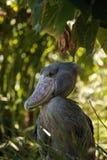 Αφρικανικός πελαργός Balaeniceps Shoebill rex Στοκ φωτογραφία με δικαίωμα ελεύθερης χρήσης