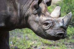 Αφρικανικός ρινόκερος, άγρια φύση Στοκ φωτογραφίες με δικαίωμα ελεύθερης χρήσης