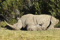 αφρικανικός ρινόκερος θά&mu Στοκ Εικόνες