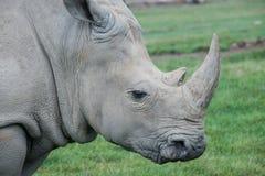 Αφρικανικός ρινόκερος σε έναν τομέα χλόης Στοκ Φωτογραφίες