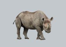 Αφρικανικός ρινόκερος σε ένα γκρίζο υπόβαθρο Στοκ Φωτογραφίες