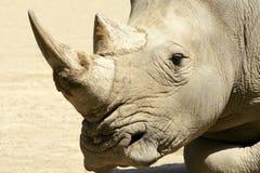 αφρικανικός ρινόκερος Στοκ Φωτογραφία