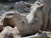 Αφρικανικός ρινόκερος Στοκ φωτογραφία με δικαίωμα ελεύθερης χρήσης