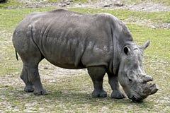 1 αφρικανικός ρινόκερος Στοκ φωτογραφίες με δικαίωμα ελεύθερης χρήσης
