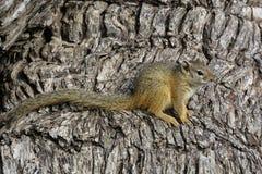 Αφρικανικός σκίουρος δέντρων στο πλήρες μήκος σωμάτων με το φλοιό ενός δέντρου ως υπόβαθρο στοκ εικόνες