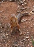 Αφρικανικός σκίουρος Στοκ Φωτογραφίες