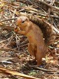 Αφρικανικός σκίουρος Στοκ Φωτογραφία
