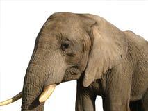 Αφρικανικός στενός επάνω ελεφάντων που απομονώνεται στο λευκό στοκ φωτογραφία