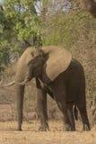 Αφρικανικός ταύρος ελεφάντων Στοκ εικόνες με δικαίωμα ελεύθερης χρήσης
