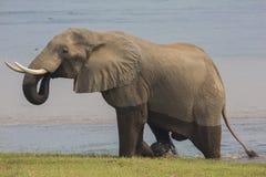Αφρικανικός ταύρος ελεφάντων (africana Loxodonta) που αναρριχείται από Zambe στοκ εικόνες