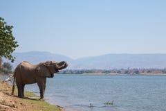 Αφρικανικός ταύρος ελεφάντων (africana Loxodonta) που πίνει στοκ φωτογραφία με δικαίωμα ελεύθερης χρήσης