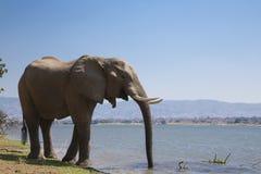 Αφρικανικός ταύρος ελεφάντων (africana Loxodonta) που πίνει στοκ φωτογραφία