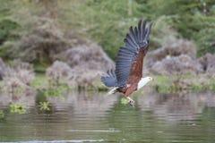 Αφρικανικός ψάρι-αετός που πιάνει ένα ψάρι Στοκ Φωτογραφία