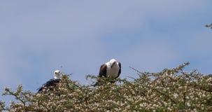 Αφρικανικός ψάρι-αετός, haliaeetus vocifer, ζευγάρι στην κορυφή του δέντρου, λίμνη Naivasha στην Κένυα, απόθεμα βίντεο
