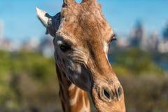 Αφρικανικός giraffe στενός επάνω την ηλιόλουστη ημέρα Στοκ Φωτογραφία