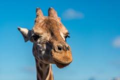 Αφρικανικός giraffe στενός επάνω την ηλιόλουστη ημέρα Στοκ Εικόνες