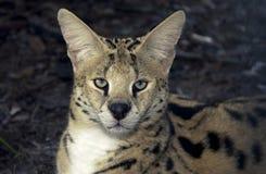 αφρικανικός serval Στοκ εικόνα με δικαίωμα ελεύθερης χρήσης