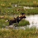 Αφρικανικό άγριο πακέτο σκυλιών στη δράση Στοκ φωτογραφία με δικαίωμα ελεύθερης χρήσης