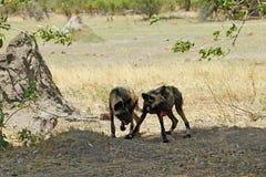 Αφρικανικό άγριο πακέτο σκυλιών Στοκ φωτογραφία με δικαίωμα ελεύθερης χρήσης