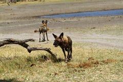 Αφρικανικό άγριο πακέτο σκυλιών Στοκ εικόνα με δικαίωμα ελεύθερης χρήσης